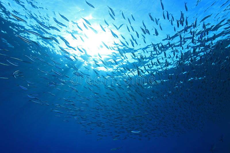 Shoal of sardines royalty free stock photos