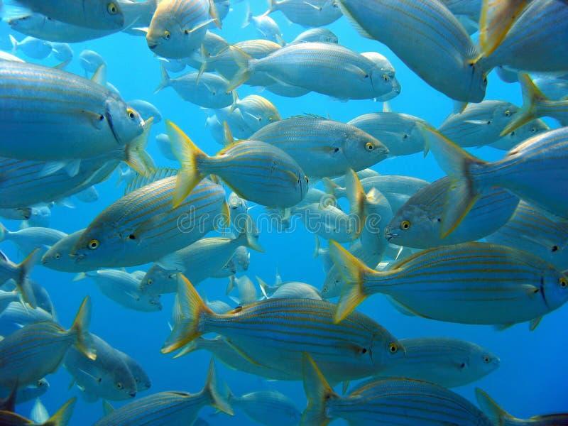 Download Shoal of Sea-Bream stock image. Image of destination - 21831387