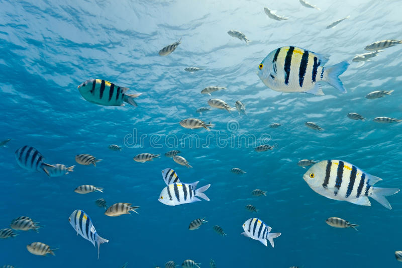 Shoal of sergeant fish stock images
