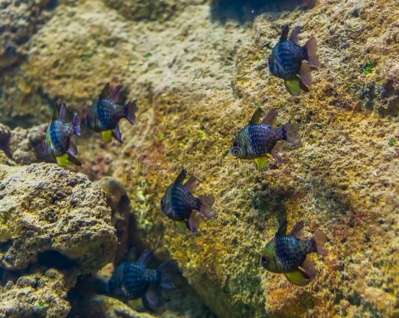 Shoal of small tropical fishes swimming underwater, fish in the color blue, yellow and silver, exotic aquarium pets. A shoal of small tropical fishes swimming royalty free stock photography