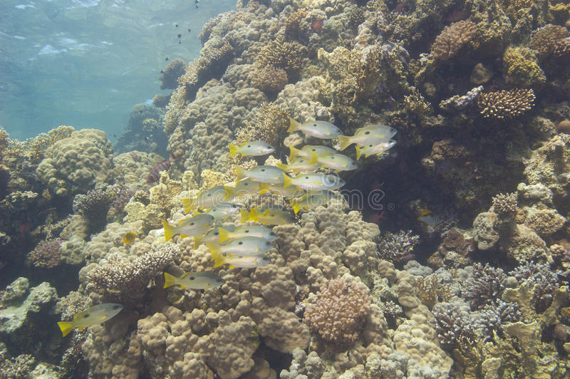 Shoal Of Snapper On A Tropical Reef Royalty Free Stock Photography