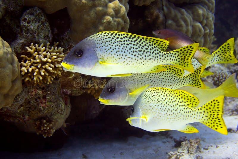 Download Shoal of sweetlips stock image. Image of aquatic, bright - 8452075