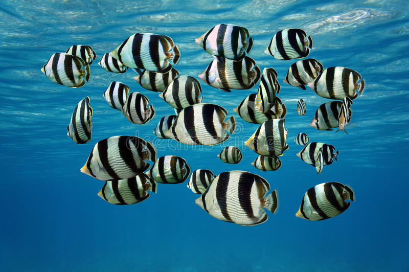 Shoal of tropical fish Banded butterflyfish. Shoal of tropical fish, Banded butterflyfish, with water surface in background, Caribbean sea stock images