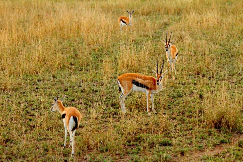 Download Shocked Gazelle stock image. Image of alert, humour, stunned - 28592261