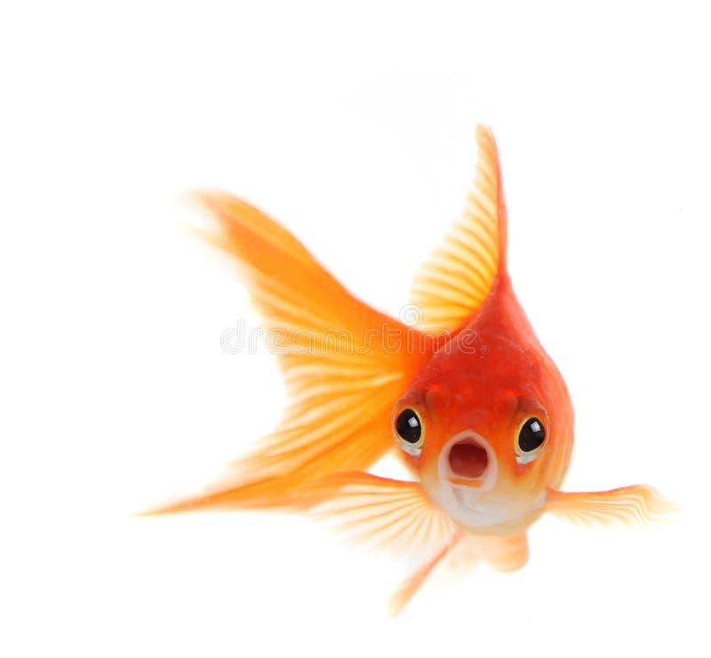 Shocked Goldfish Isolated on White Background stock image