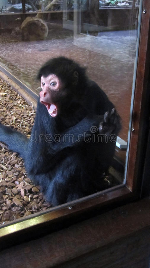 Shocked Surprised Angry Faced Monkey stock image