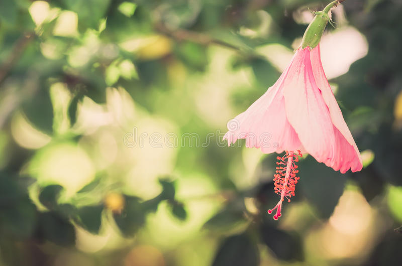 Shoe Flower or Hibiscus vintage royalty free stock photos