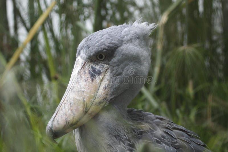 Download Shoebill stock image. Image of bird, animal, nature, shoebill - 17303447