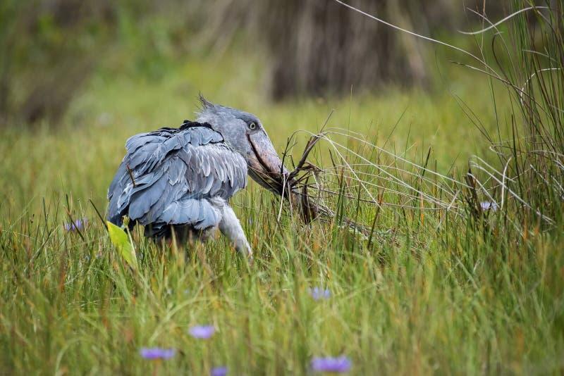 The Shoebill, Balaeniceps rex of Shoe Billing Stork stock foto's