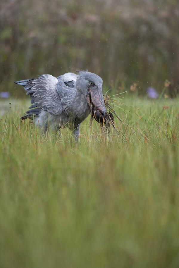 The Shoebill, Balaeniceps rex of Shoe Billing Stork royalty-vrije stock foto's