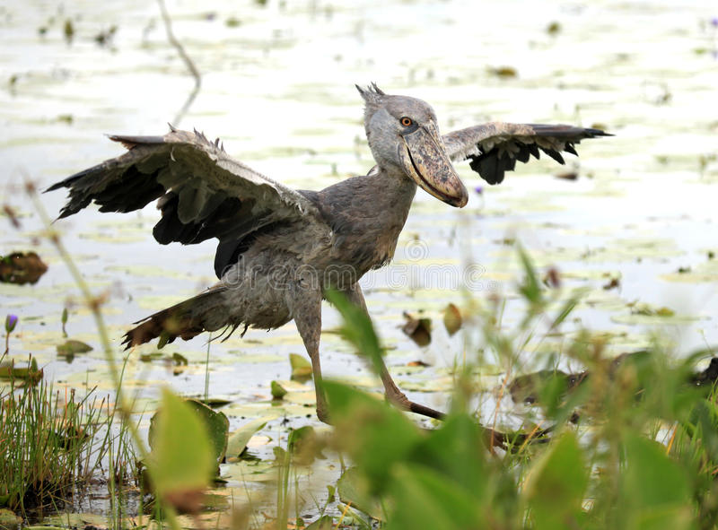 Shoebill en el salvaje - Uganda, África imagen de archivo libre de regalías
