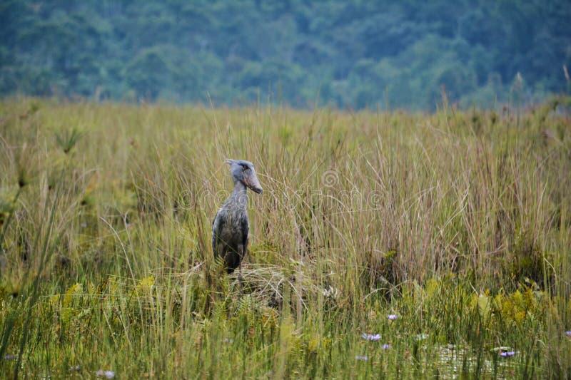 Shoebill looking far off into distance. Ancient Shoebill looking far off into distance in the Mabamba swamp near Entebbe Uganda stock photos