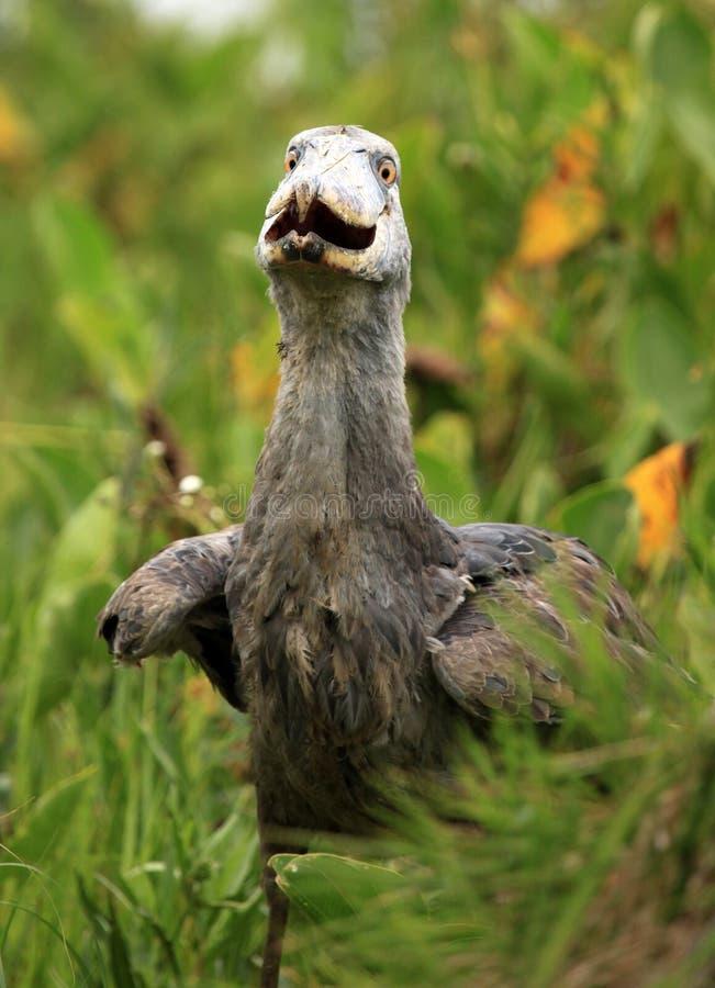 Shoebill nel selvaggio - l'Uganda, Africa fotografia stock