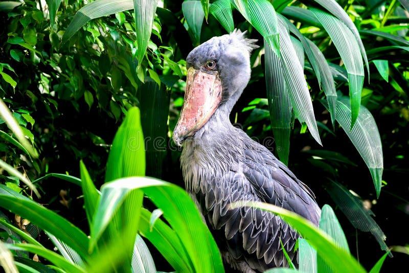 Shoebill nella giungla fotografie stock