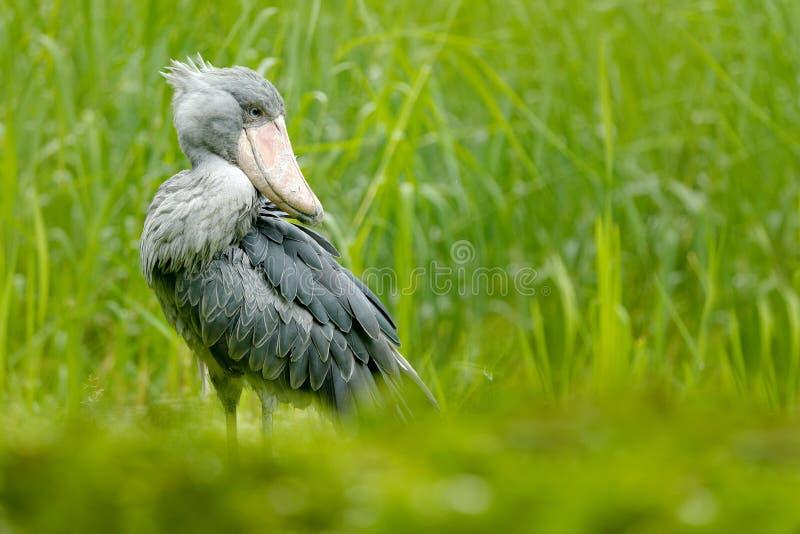 Shoebill, rex del Balaeniceps, ritratto di grande uccello del becco, Uganda Scena della fauna selvatica del dettaglio dall'Africa fotografia stock libera da diritti