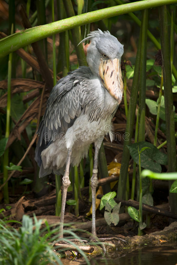 Shoebill Storch stockbilder