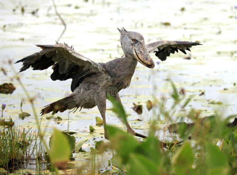 Shoebill in the Wild - Uganda, Africa royalty free stock image