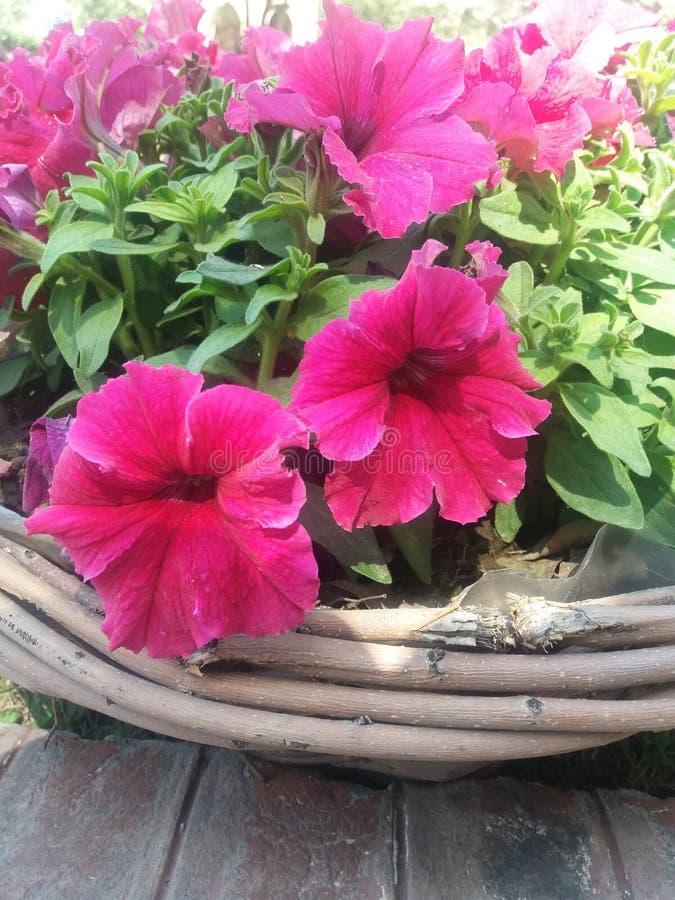shooking rosa färger arkivfoto