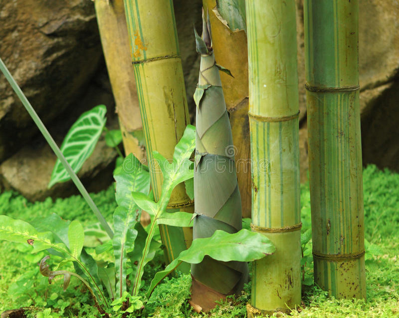 Shoot of Bamboo. In the rain forest stock images