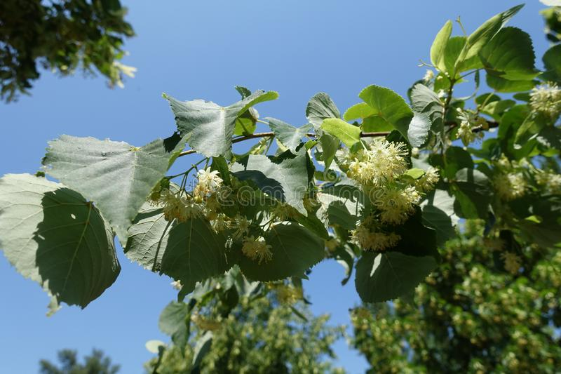 Shoot of blossoming linden against blue sky stock photos