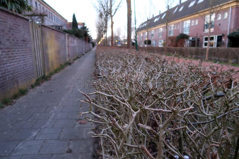 Shoot in Houten, the Netherlands. A small street in the village of Houten, the netherlands. A row of bushes photographed in the street early in the morning stock photos