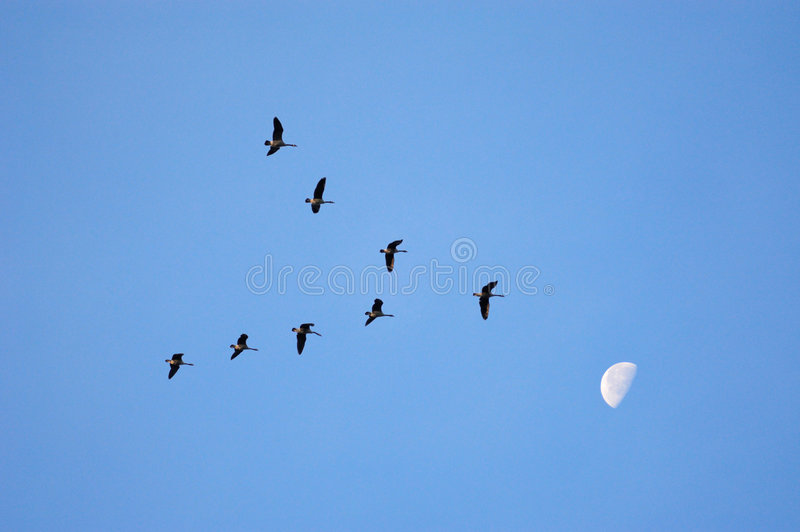 Shoot for the Moon. Migrating Canada Geese in v formation against blue sky and moon