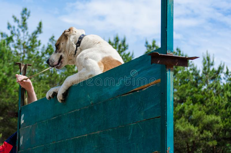A big and powerful dog climbs on a high wall. Training of the Central Asian Shepherd Dog service skills. royalty free stock image