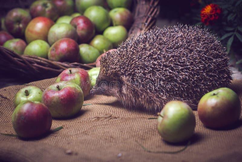 Shooting a hedgehog at night stock image