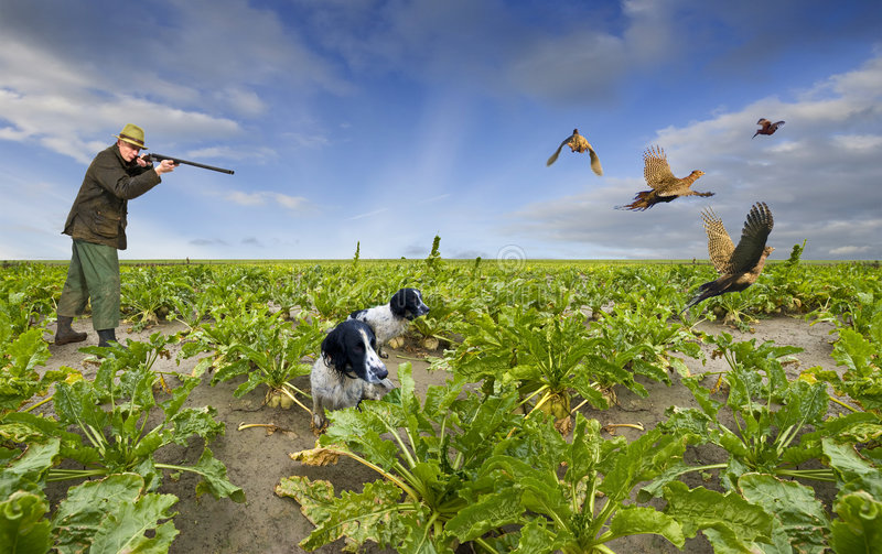 Download Shooting Pheasants stock photo. Image of person, flying - 7640330