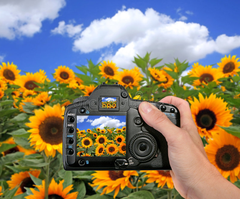 Shooting A Photograph In A Sunflower Field Royalty Free Stock Image