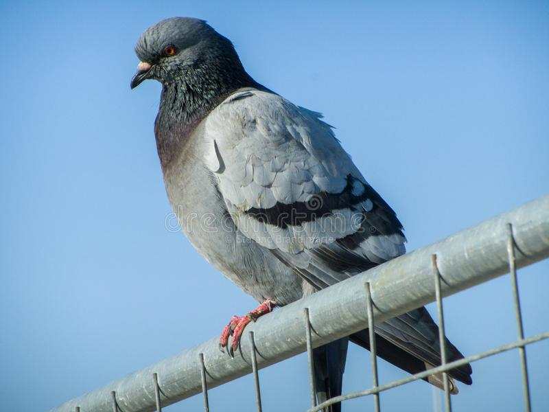 A common pigeon found on a fence at the Port of Pescara stock photo