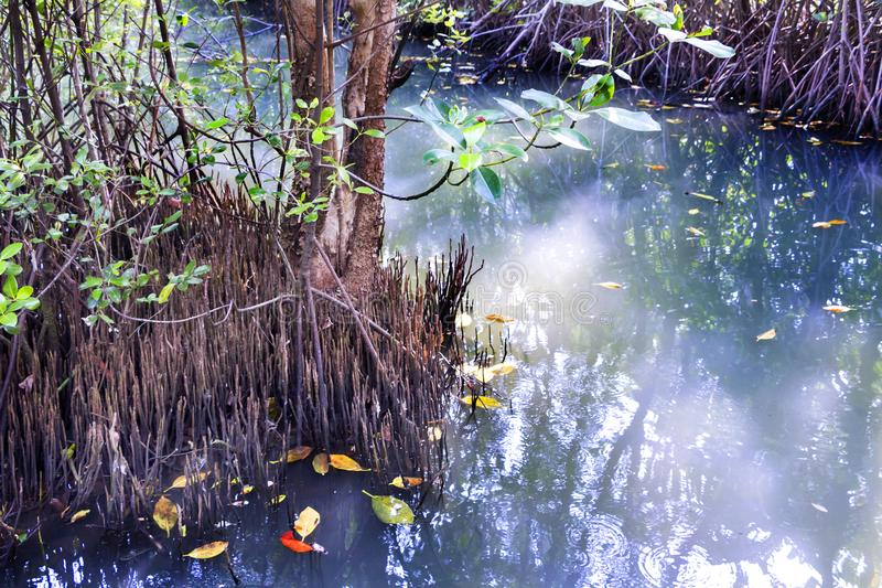 Shoots of the mangrove apple or cork tree in the mangroves fores. T. The aerial root of the plant in waterlogged habitat stock photography