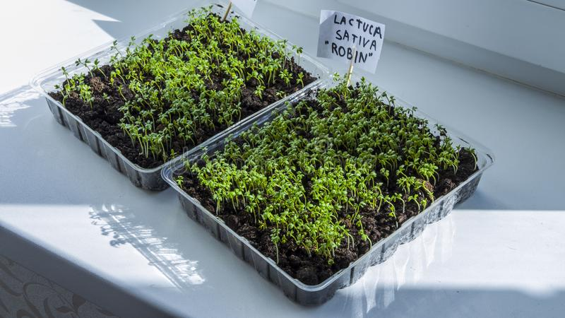 Shoots of seedlings growing. Fresh organic lettuce seedlings-image. Seedlings grow indoors on the windowsill.. Clear sunny day. Organic plant growing royalty free stock image