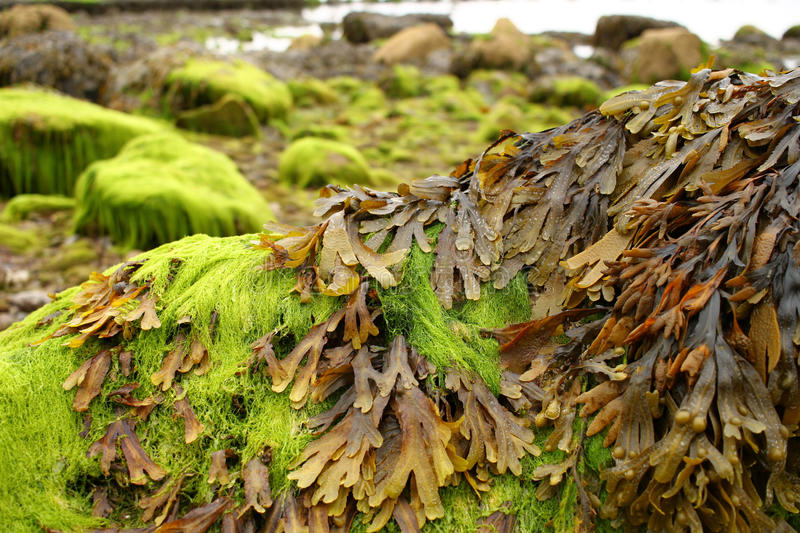 Shore algae. Bright green and brown algae on rocks, in the tidal zone of the coast at Teignmouth royalty free stock photos