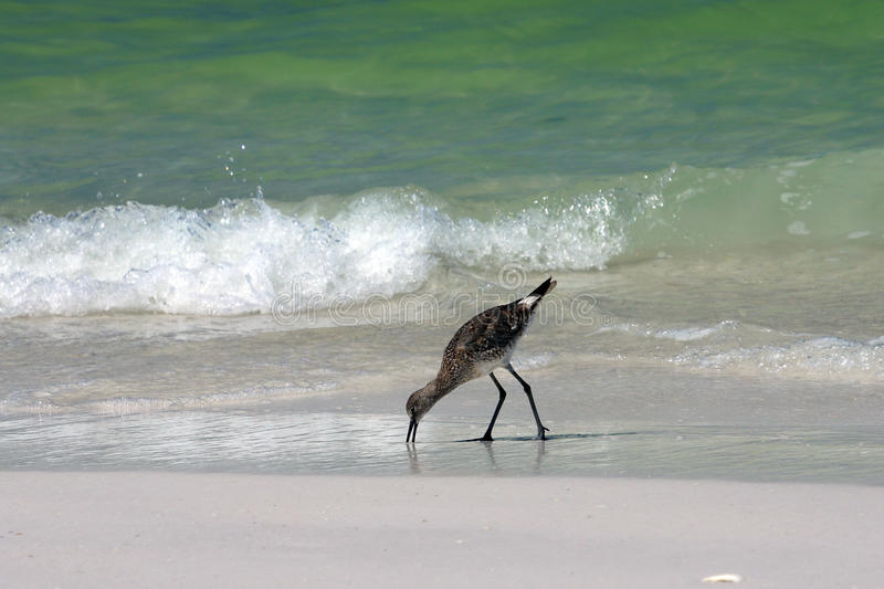 Download Shore bird stock photo. Image of sand, tides, beach, shore - 26241898
