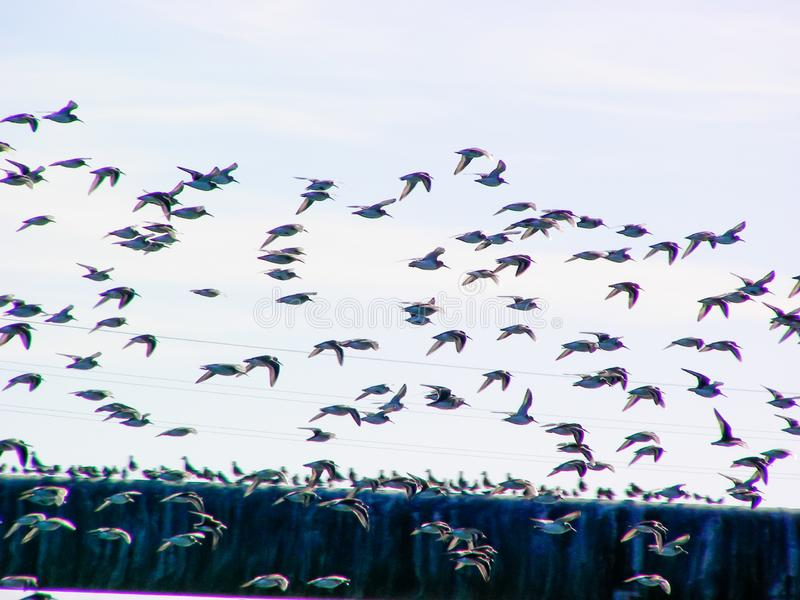 Shore Birds In Flight. Sandpipers and other shorebirds flocking and resting on an old pipeline at high tide on Humboldt Bay in Eureka, California stock photography