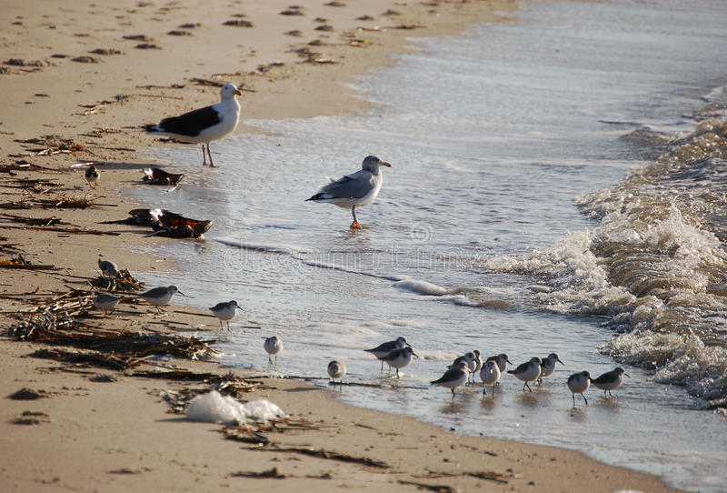 Download Sea Gulls And Sanderlings At Waters Edge Royalty Free Stock Images - Image: 34971569