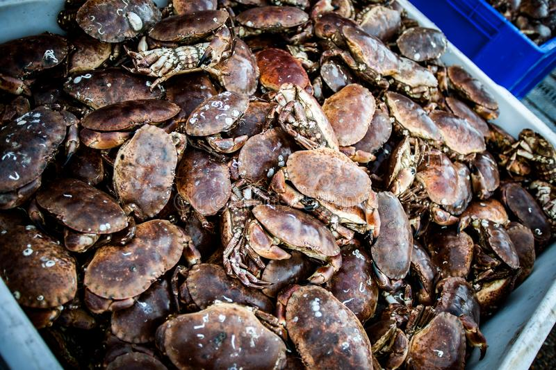 Shore crabs. Large box of shore crabs just unloaded from a fishing boat and being prepared for market stock images