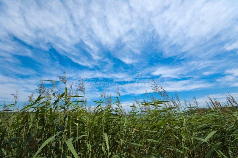 Download Shore of the lake stock image. Image of lake, cloud, reed - 26186097