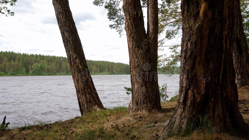 Shore lake pines in cloudy summer day royalty free stock photos