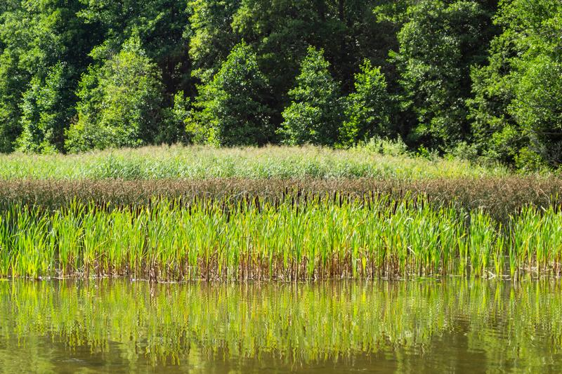 Shore of the lake with the reeds. forest near the water stock images