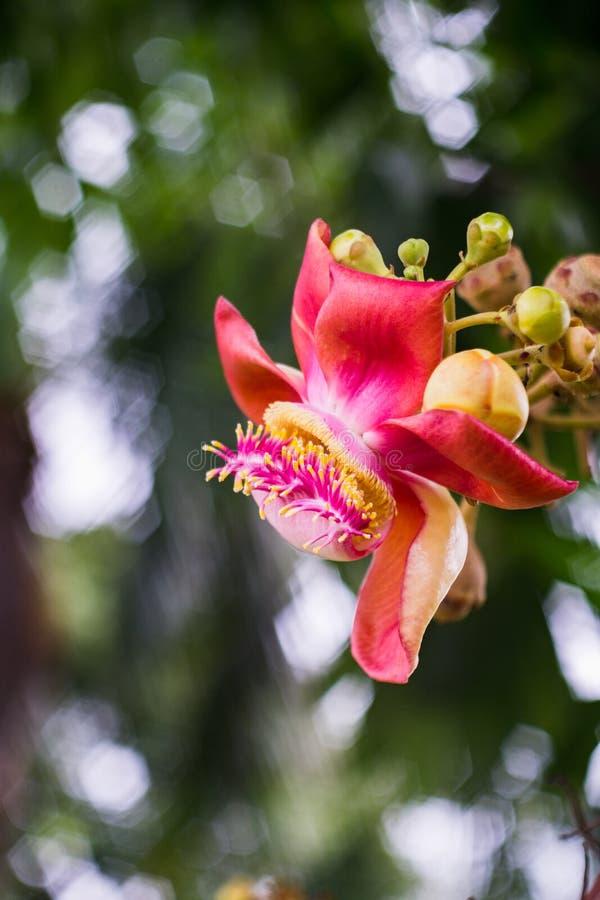 Shorea robusta στοκ εικόνες