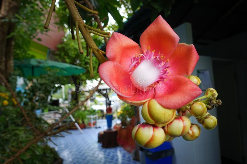 Shorea robusta or Cannonball flowers on the tree. royalty free stock photo