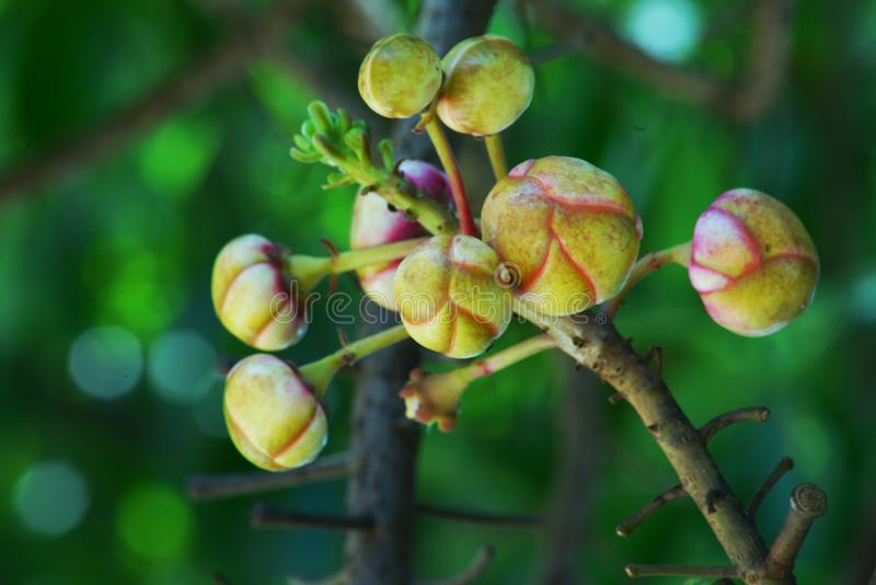 Shorea robusta kwiaty zdjęcie royalty free
