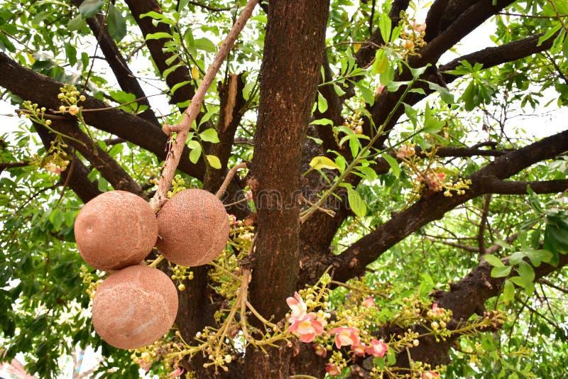 Shorea robusta ou de árvore de Sala fruto imagem de stock