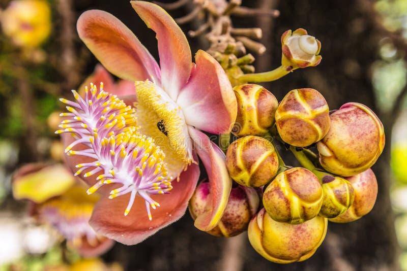 Shorea robusta ou fleur de boulet de canon photo stock