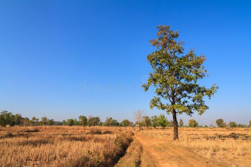 Shorea siamensis auf dem ausgetrockneten Reisgebiet stockbilder