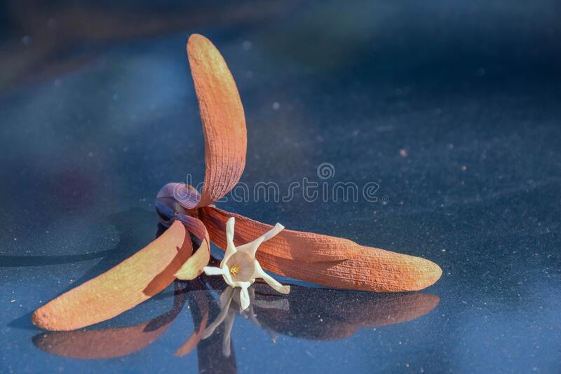 Shorea, White Meranti, Dipterocarpaceae flower and fruit seed fall down on the front car bonnet stock image