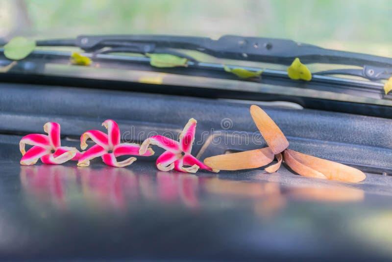 Shorea, White Meranti, Dipterocarpaceae fruit seed and Dipterocarpus intricatus flower on the console front car stock photos