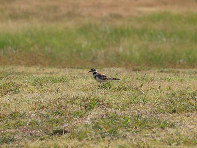 Shorebird Killdeer на охоте стоковая фотография rf